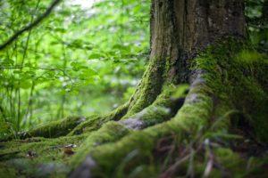 Baumwurzeln in grünem Wald