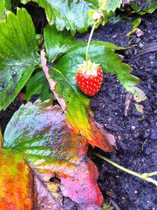 Späte Erdbeere, während die Blätter sich schon verfärben